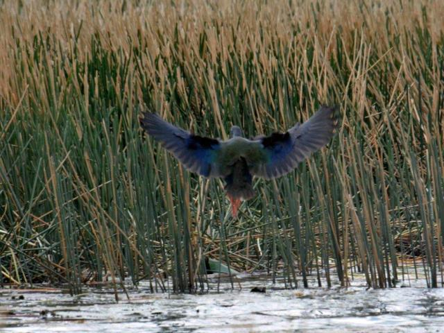 African Purple Swamphen in flight -Hennie Jordaan