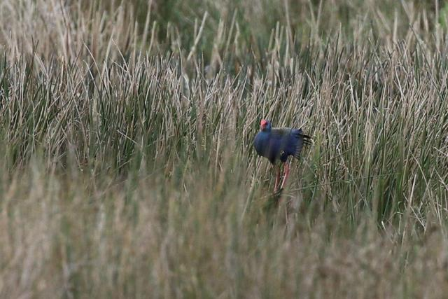African Purple Swamphen