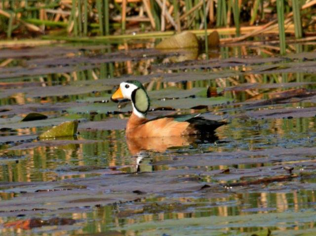 African Pygmy-Goose - male -Hennie Jordaan