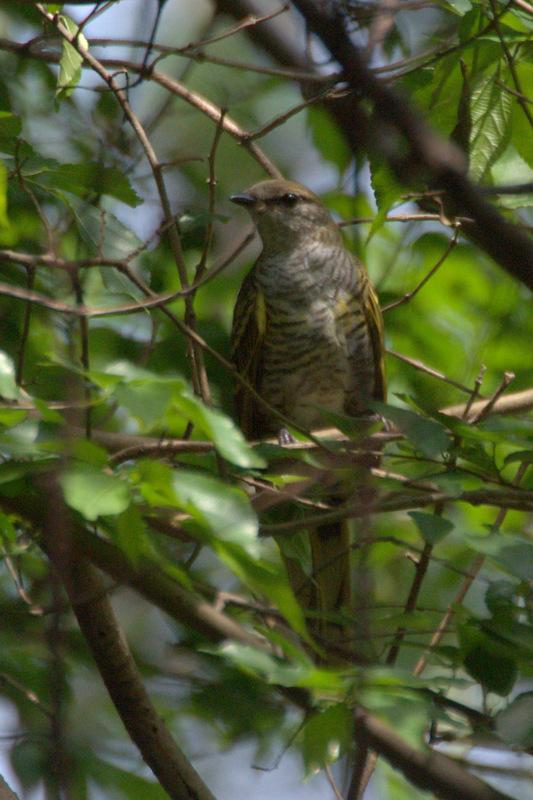 Black Cuckooshrike - female -John Bremner