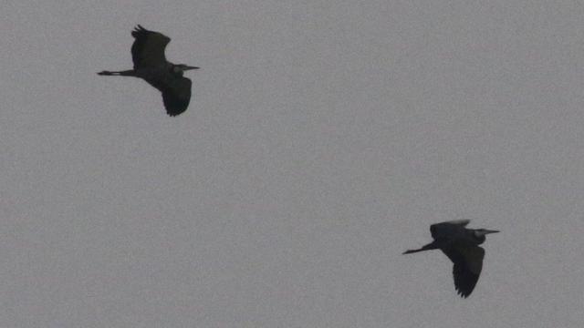 Black-headed Herons - Mike Jackson