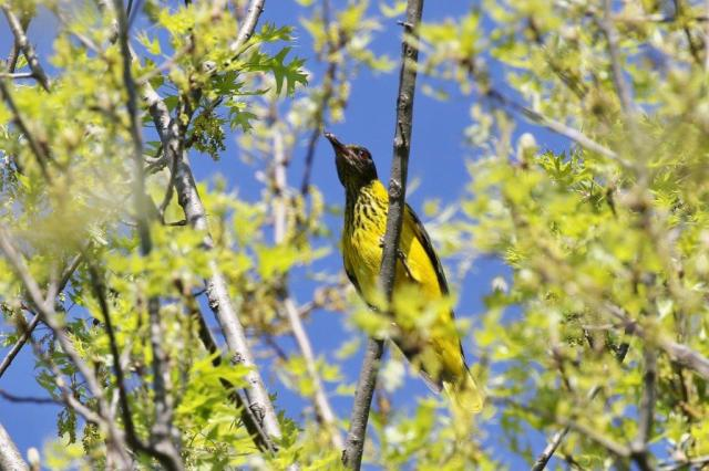 Black-headed Oriole - juvenile