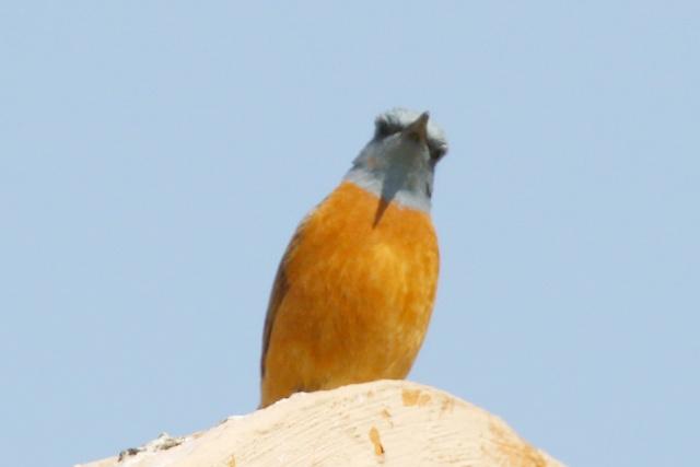 Cape Rock-Thrush - male