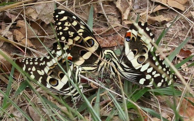 Citrus Swallowtails - Mike Jackson