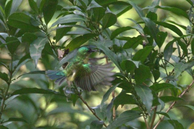 Collared Sunbird collecting nesting material  - John Bremner