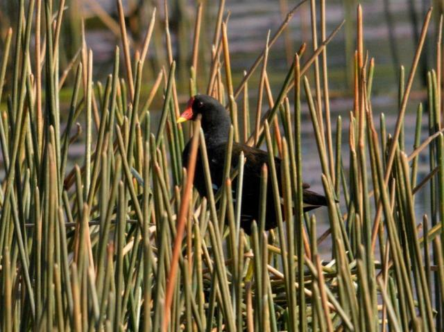 Common Moorhen -Hennie Jordaan