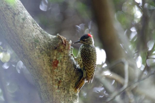 Golden-tailed Woodpecker -John Bremner