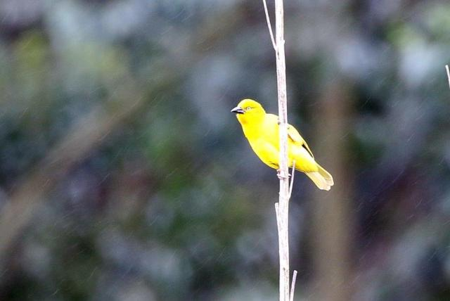 Golden Weaver