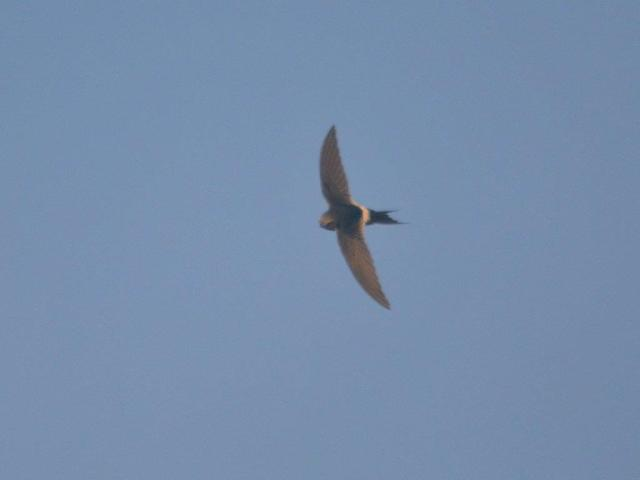 Lesser Striped Swallow- Hennie Jordaan