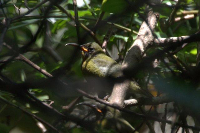 Olive Sunbird - fledgling with orange gape- John-Bremner