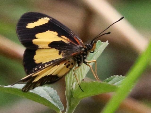 Yellow-banded Acraea - Mike Jackson