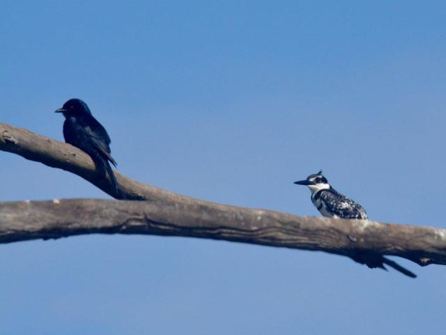 Pied Kingfisher and Fork-tailed Drongo -Hennie Jordaan