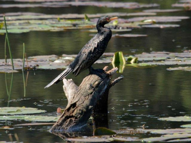 Reed Cormorant by Hennie Jordaan