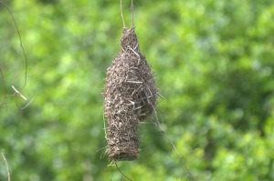 Spectacled Weavers nest -John Bremner