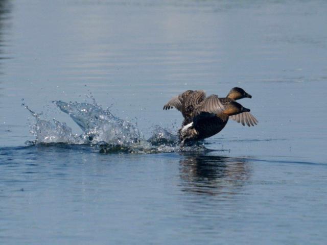 White-backed Duck in flight -Hennie Jordaan