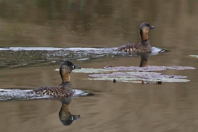 White-backed Ducks
