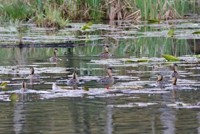 A few of the White-backed Ducks