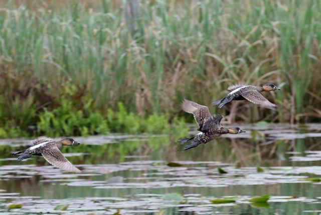 White-backed Ducks in flight