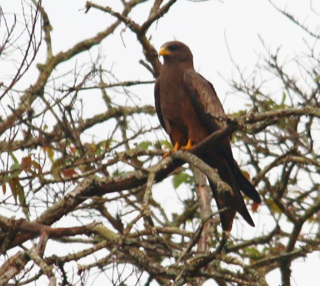 Yellow-billed Kite - Mike Caine