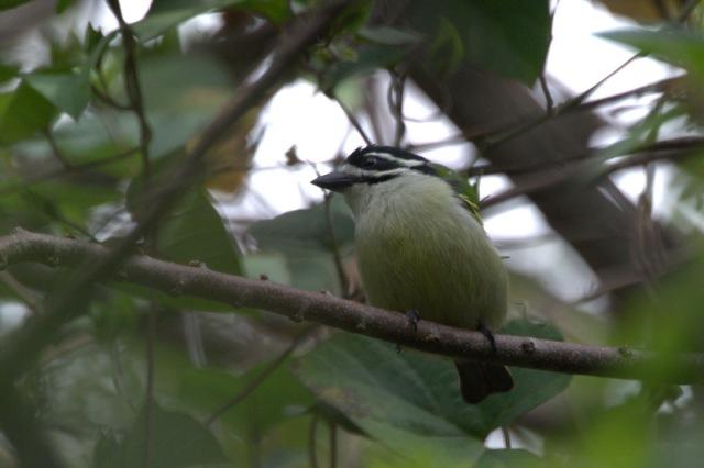 Yellow-rumped Tinkerbird -John Bremner