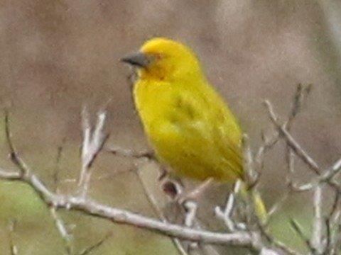 Yellow Weaver - Mike Jackson