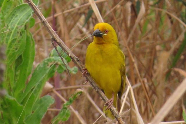 Yellow Weaver - PB