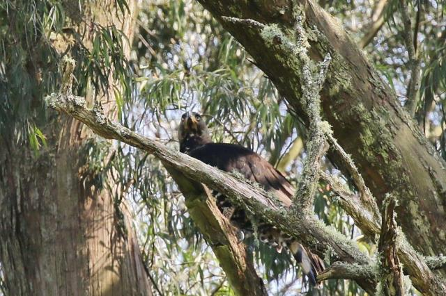 Crowned Eagle off its nest