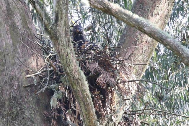 Crowned Eagle on its nest