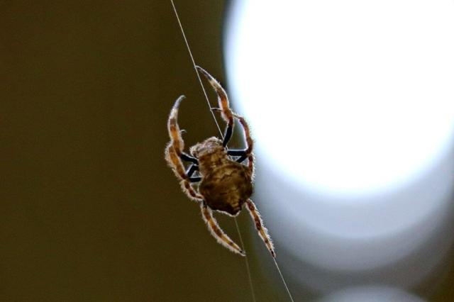 Bark Spider