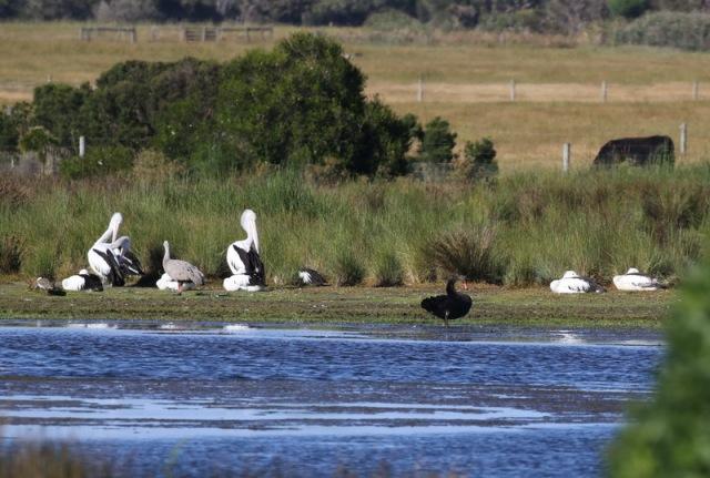 Australian Pelicans and Black Swan