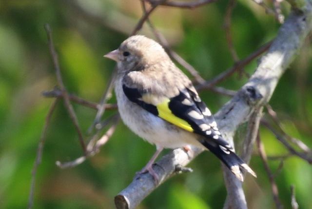 European Goldfinch - juvenile