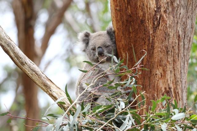 Koala having a peek