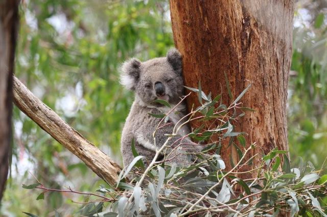 Koala clutching on
