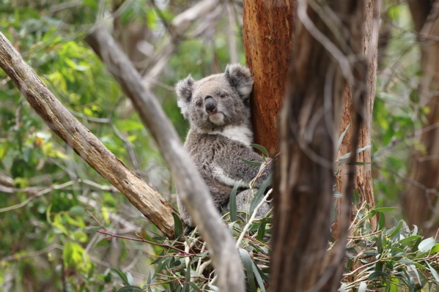 Koala wondering what's the attraction