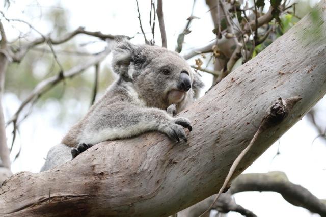 Koala actually caught moving.