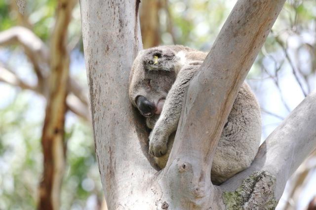 Koala curled up