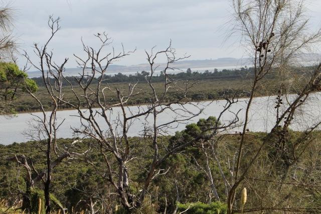 Rhyll mangroces