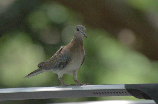 Young Laughing Dove