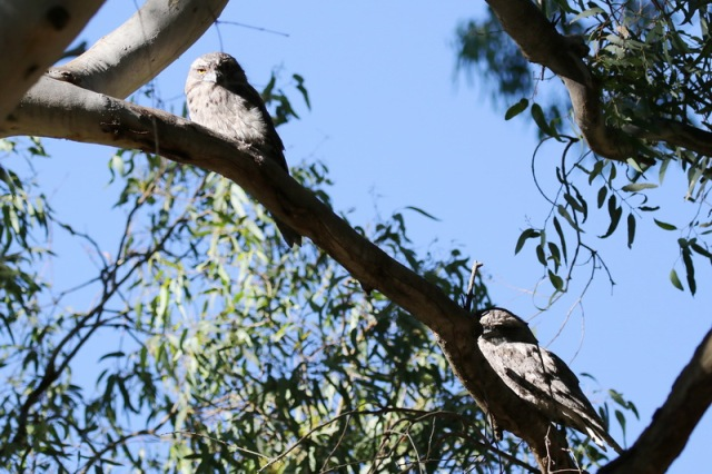 A pair of Tawny Frogmouths