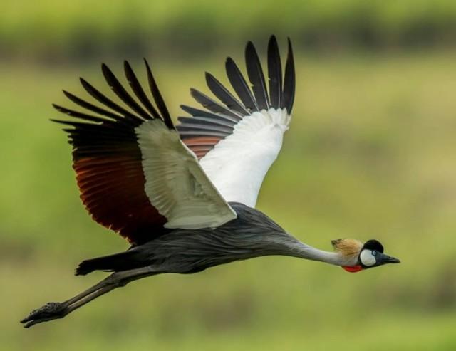 Grey-crowned Crane (Tony Bevis)