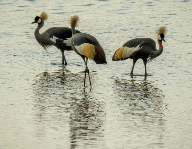 Grey-crowned Cranes (Tony Bevis)