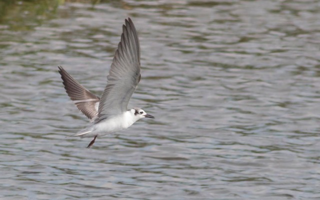 White-winged Tern (Ryan Ramsamy)