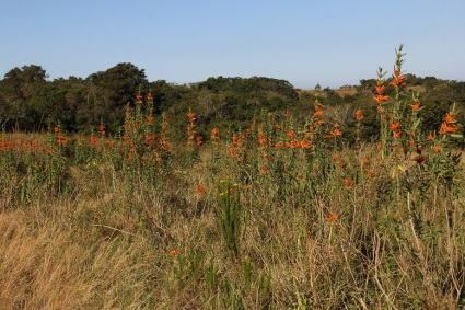 One of the many fields of Leonotis