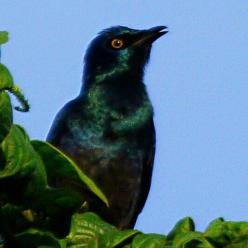 Black- bellied Starling - Sheryl Halstead