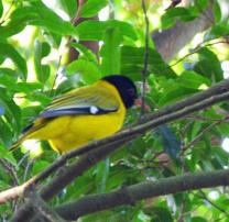 Black-headed Oriole - Sheryl Halstead