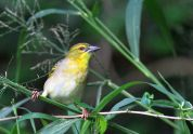 Village Weaver - David Swanepoel