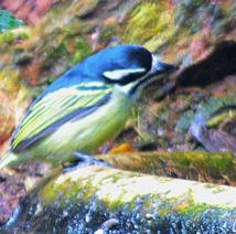 Yellow-rumped Tinkerbird - Sheryl Halstead