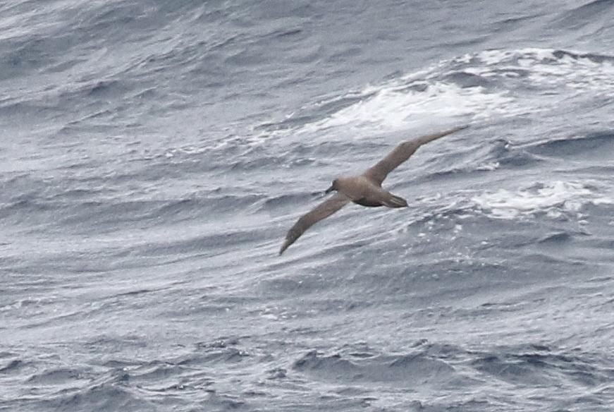 Great-winged Petrel (1) | BirdLife Port Natal