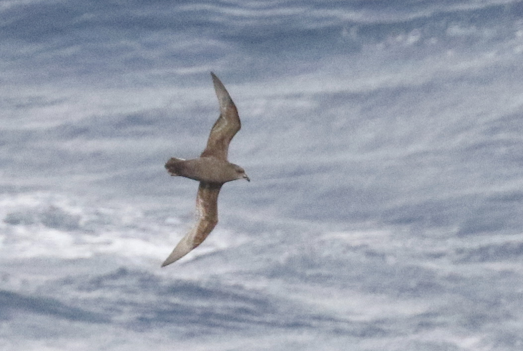 Great-winged Petrel (5) | BirdLife Port Natal