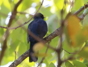 Black Cuckooshrike male